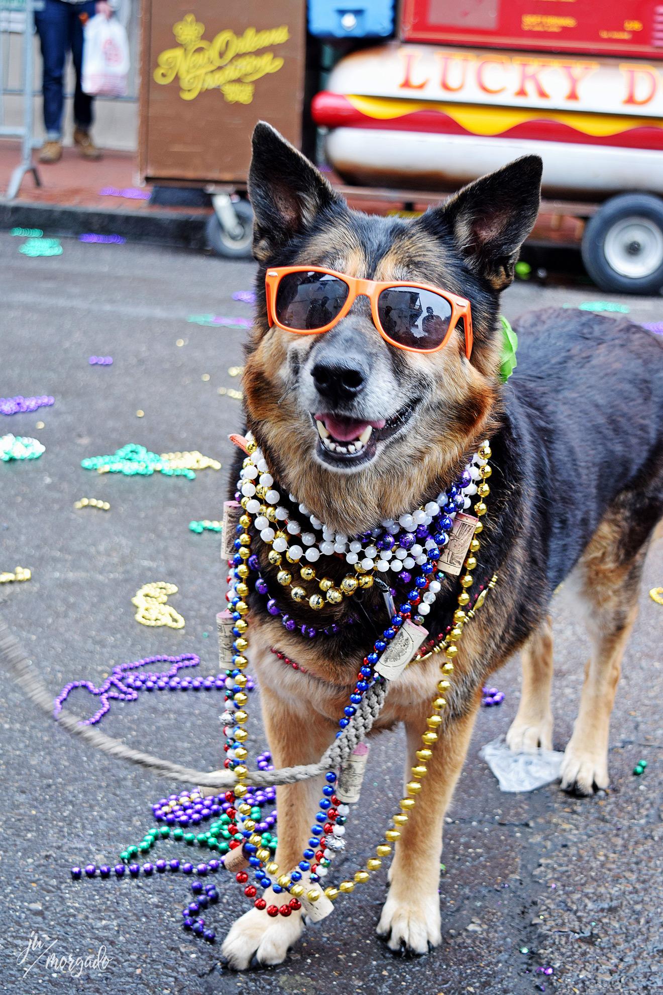 Cachorro fantasiado em New Orleans.
